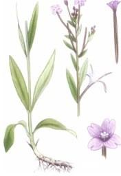 Kisvirágú füzike tea