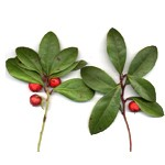 Wintergreen olaj (Bio)