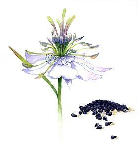 Feketekömény olaj - kerti katicavirág olaj