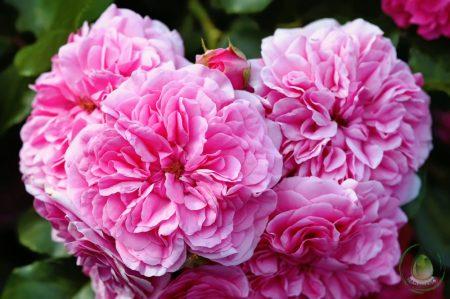 Bio rózsa centifolia virágvíz