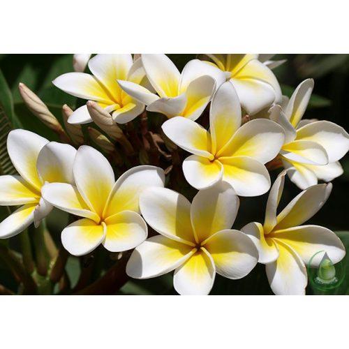 Kelet virága illatolaj