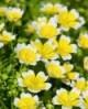 Fehér tajtékvirág olaj (Meadowfoam)