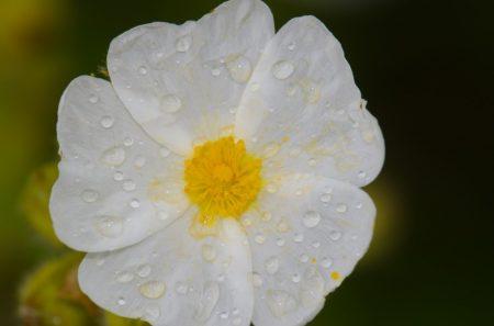 Bio cistus virágvíz - balzsamos szuhar víz