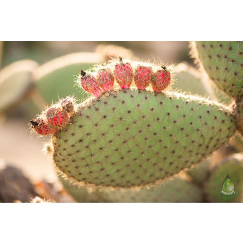 Kaktuszfüge olaj - macerátum