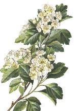 Galagonya virágos ágvég tea