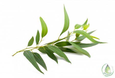 Bio eukaliptusz víz