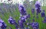 Virágvíz, aromavíz