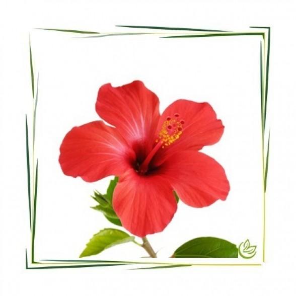 Hibiszkusz virág por